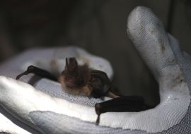 Woodrow staff attend regular training so they can apply for lienses to survey for bats as appropriate.
